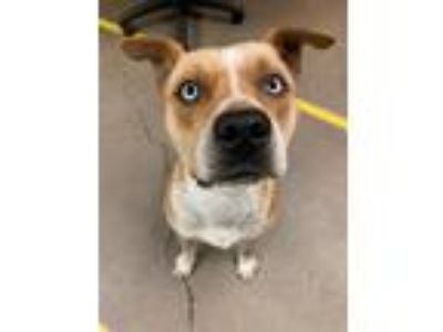 Adopt Ice a Pit Bull Terrier, Boxer