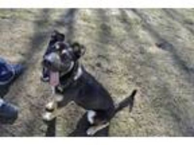 Adopt Ozzy a German Shepherd Dog