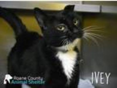Adopt Ivy a Domestic Short Hair