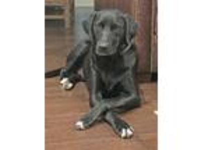 Adopt Callie - courtesy post a Black Labrador Retriever