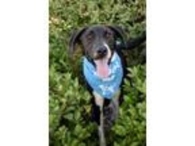 Adopt Rex a Border Collie, Labrador Retriever