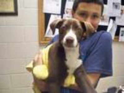 Adopt HERSHEY a Brown/Chocolate - with White Labrador Retriever / American Pit