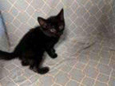 Adopt Nick a Domestic Short Hair