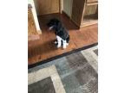 Adopt Cece a Great Pyrenees, Poodle