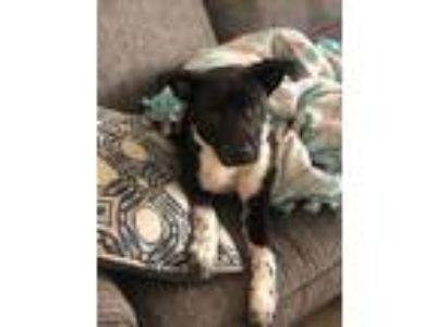 Adopt Bentley a Brown/Chocolate - with White Husky / German Shepherd Dog dog in