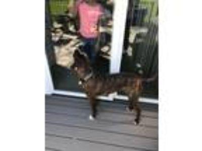 Adopt max a Brindle Plott Hound dog in Liberty, MO (25019738)