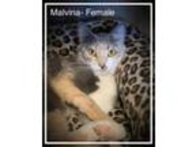Adopt Malvina a Gray or Blue Domestic Shorthair / Domestic Shorthair / Mixed cat
