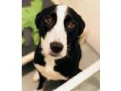 Adopt Murph a Border Collie