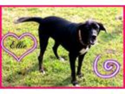 Adopt Ellie a German Shepherd Dog, Labrador Retriever