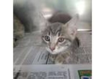 Adopt Grant a Gray or Blue Domestic Shorthair cat in Starkville, MS (25571733)
