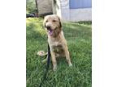 Adopt Mila a Tan/Yellow/Fawn Labrador Retriever / Mixed dog in Austin