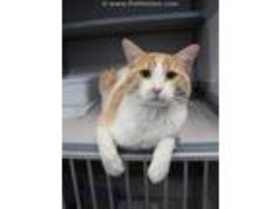 Adopt MARBLES a Orange or Red (Mostly) Domestic Shorthair / Mixed (short coat)