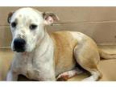 Adopt a White - with Tan, Yellow or Fawn American Pit Bull Terrier / Labrador