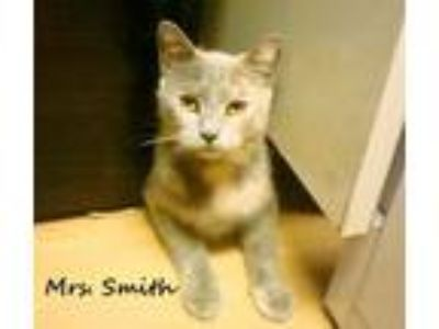 Adopt Mrs. Smith a Dilute Calico
