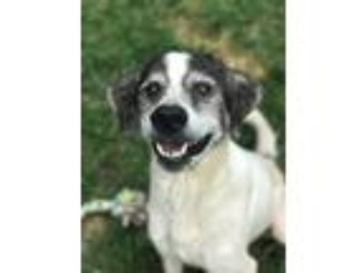Adopt Mika a White - with Black Labrador Retriever / Mixed dog in Shelbyville