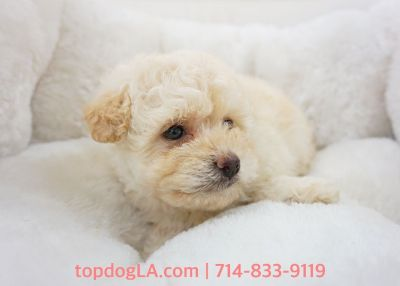 Maltipoo Puppy - Female - Jody ($1,299)