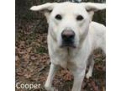 Adopt Cooper a White Labrador Retriever / Mixed dog in Tahlequah, OK (20263824)