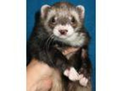 Adopt Squirt, Chev Chelios, and Kayla a Ferret