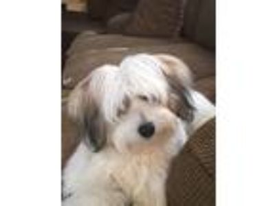 Adopt Nala a White - with Brown or Chocolate Coton de Tulear dog in Cumming
