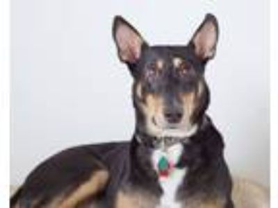 Adopt Hansel a Black - with Tan, Yellow or Fawn Doberman Pinscher / Mixed dog in
