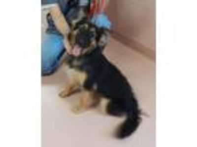 Adopt Sandy a German Shepherd Dog