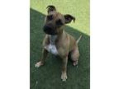 Adopt Bell a Tan/Yellow/Fawn - with White Boxer / Pit Bull Terrier / Mixed dog