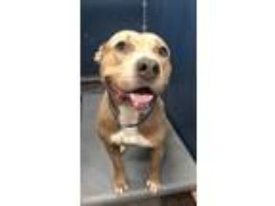 Adopt 41974521 a Brown/Chocolate American Pit Bull Terrier / Mixed dog in Fort