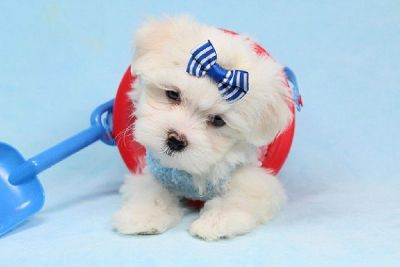 Tiny Teacup Maltese Puppies in Las Vegas/Los Angeles! Shipping/Delivery - FInancing Available!
