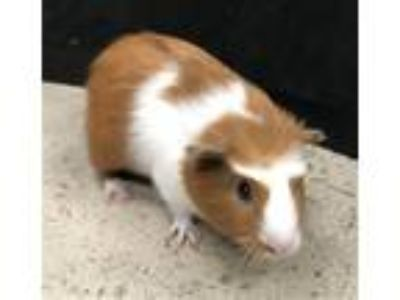 Adopt Moonlight a Guinea Pig