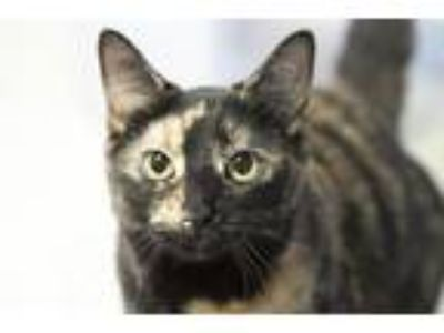 Adopt Gemini a Tortoiseshell Domestic Shorthair (short coat) cat in LaGrange