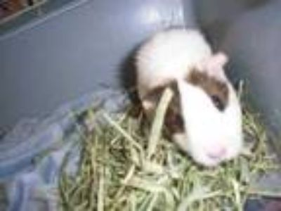 Adopt Goldie a Brown or Chocolate Guinea Pig / Guinea Pig / Mixed small animal