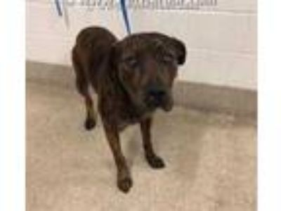 Adopt BENSON a Brindle Mastiff / Mixed dog in Tavares, FL (24031165)