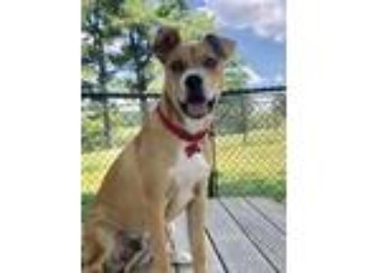 Adopt Theo a Red/Golden/Orange/Chestnut - with White Beagle / Collie / Mixed dog