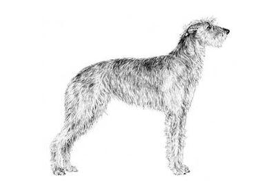 Scottish Deerhound Puppies