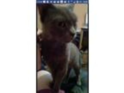Adopt Static a Gray or Blue Manx cat in Odenville, AL (24758885)