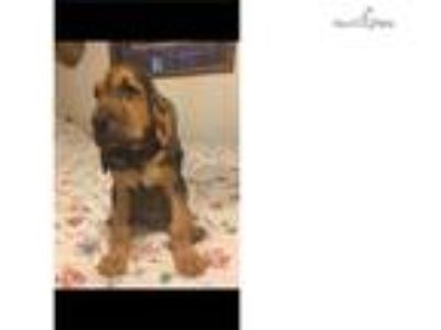 $650.00*** Quality female Blk/ Tan Bloodhound