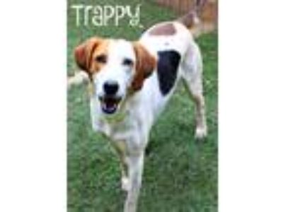 Adopt Trappy a Tricolor (Tan/Brown & Black & White) Hound (Unknown Type) / Mixed