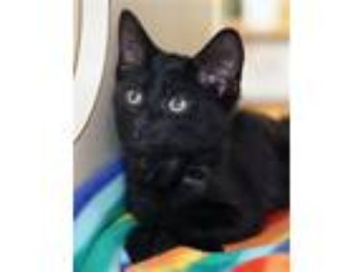 Adopt Giuseppe a Domestic Shorthair / Mixed (medium coat) cat in Novato