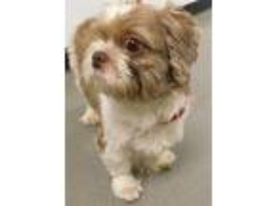 Adopt Gizmo a White - with Brown or Chocolate Shih Tzu / Mixed dog in Middle