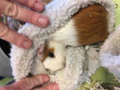 Adopt FROSTIE a White Guinea Pig / Mixed small animal in Plano, TX (25582734)