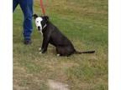 Adopt MIMOSA a Black American Pit Bull Terrier / Mixed dog in Clinton