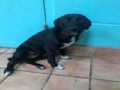 Adopt TINKERBELL a Staffordshire Bull Terrier