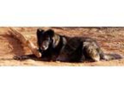 Adopt King a Brown/Chocolate - with Black German Shepherd Dog / German Shepherd