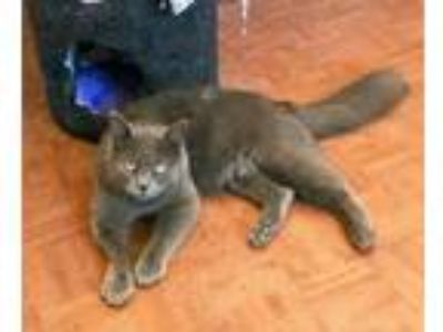 Adopt Nelson a Domestic Medium Hair, Russian Blue