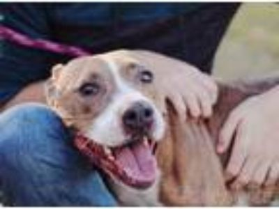 Adopt Clara a Tan/Yellow/Fawn - with White Pit Bull Terrier / Mixed dog in
