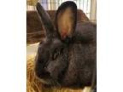 Adopt Rhonda a Black Dutch / Other/Unknown / Mixed rabbit in Cleveland