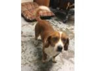 Adopt Freddy a Tan/Yellow/Fawn - with White Basset Hound / Beagle / Mixed dog in