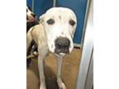 Adopt Cage 37 June 20 f a Staffordshire Bull Terrier