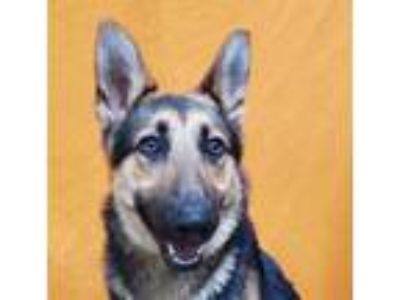 Adopt NINER a Black - with Tan, Yellow or Fawn German Shepherd Dog / Mixed dog