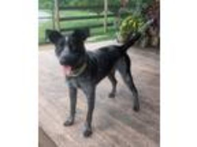 Adopt Scout a Australian Cattle Dog / Mixed dog in Garden City, NY (25585884)